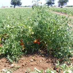 Coltivazione Pomodori Regina in campo aperto. Azienda Pero